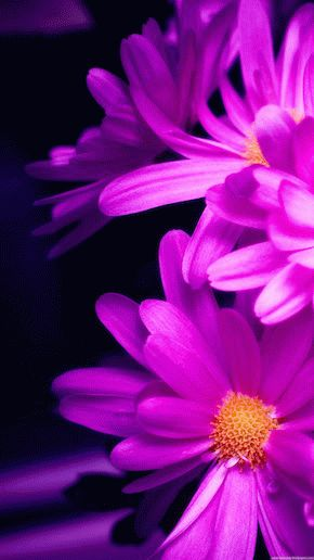 Pink-Daisy-Wallpaper-iPhone-6-Plus-preview